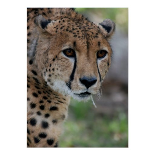 Poster curioso del guepardo