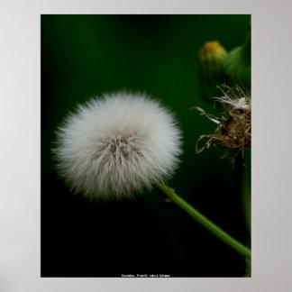 Poster  Dandelion - Photo By:: John A. Sylve...