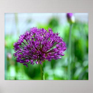poster, Dark Purple Allium Poster