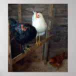 Poster de 3 pequeño gallinas