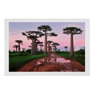 poster de África del bosque del baobab a partir Póster