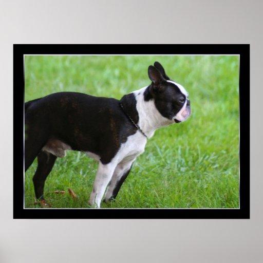Poster de Boston Terrier