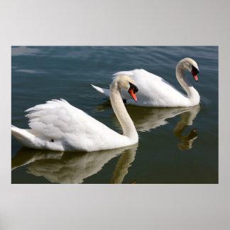 Poster de dos cisnes que nada
