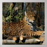 Poster de Jaguar del Panthera