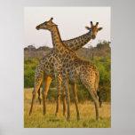 Poster de Kenia África de las jirafas del Masai