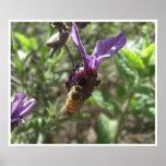 Poster de la abeja de la lavanda