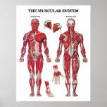 Poster de la anatomía