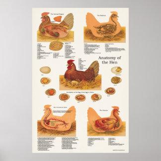 Poster de la anatomía de la gallina del pollo póster