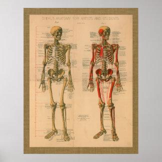 Poster de la anatomía del accesorio del músculo de