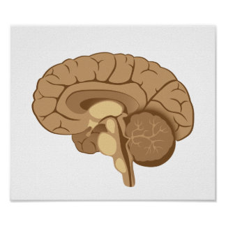 Poster de la anatomía del cerebro humano