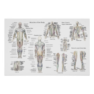 Poster de la anatomía del músculo - anterior, post