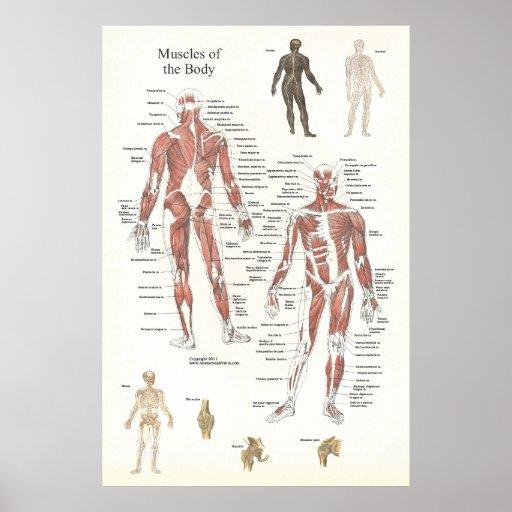 Poster de la anatomía del músculo - anterior y