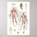 Poster de la anatomía del músculo - anterior y pos