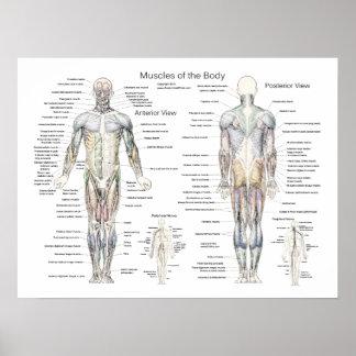 Poster de la anatomía del músculo anterior y poste