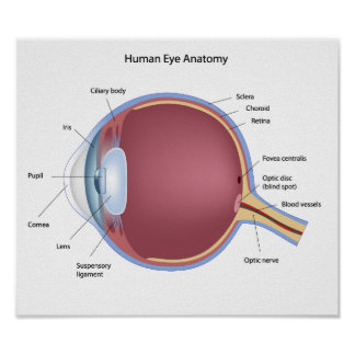 Poster de la anatomía del ojo humano