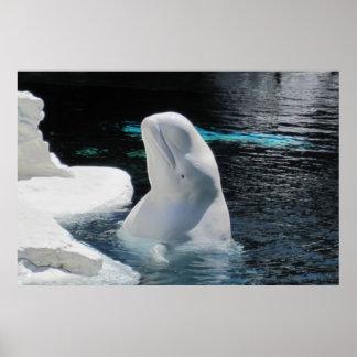 Poster de la ballena de la beluga