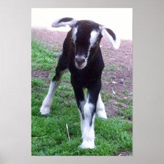 Poster de la cabra del bebé póster