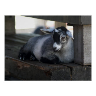 Poster de la cabra póster