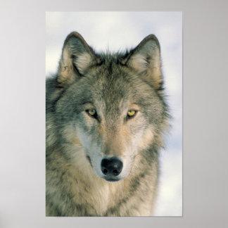 Poster de la cara del lobo