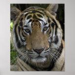 Poster de la cara del tigre