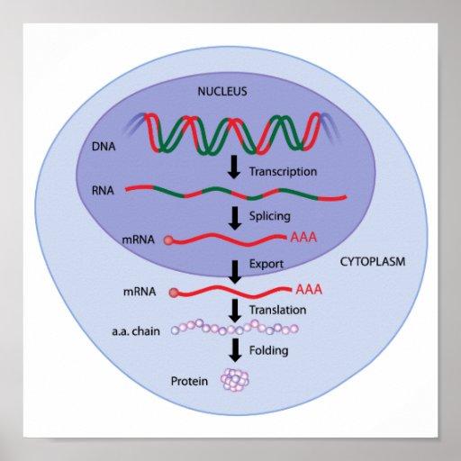 Poster de la expresión génica