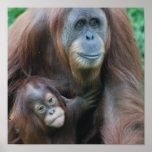 Poster de la familia del orangután