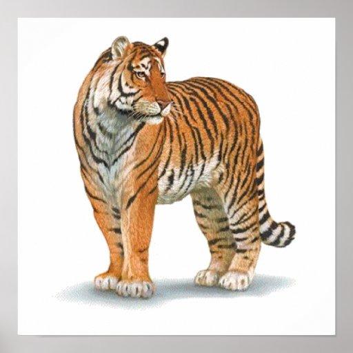 Poster de la fauna del tigre