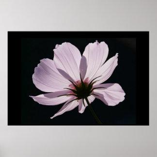 Poster de la flor de Cosmea de la lila