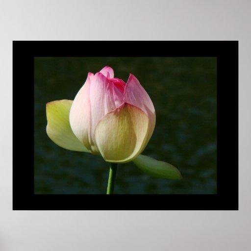 Poster de la flor de Lotus de la charca