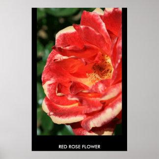 Poster de la flor del rosa rojo, impresión