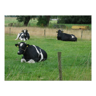 Poster de la foto de tres vacas que se sienta