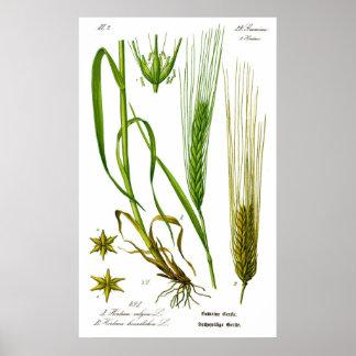 Poster de la hierba de cebada de Vulgare del Horde