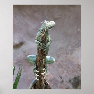 Poster de la iguana que toma el sol