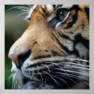 Poster de la imagen del tigre