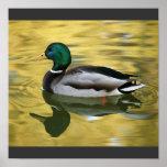 Poster de la impresión del arte del pato del pato