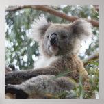 Poster de la koala