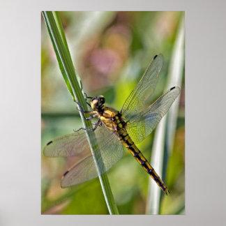 Poster de la libélula