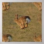 Poster de la lupulización del conejo