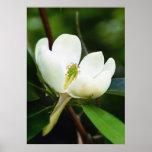 Poster de la magnolia del pantano