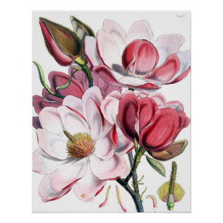 Poster de la magnolia póster
