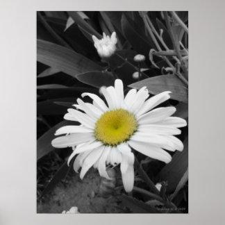 Poster de la margarita Ganador-Negra y blanca del
