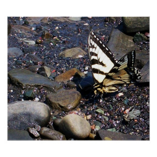 Poster de la mariposa 1 de Swallowtail del tigre