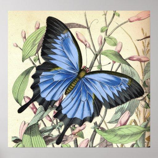 Poster de la mariposa de los azules de la montaña