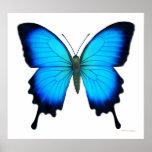 Poster de la mariposa de Papilio Ulises
