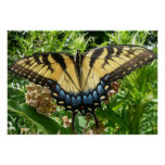 Poster de la mariposa de Swallowtail