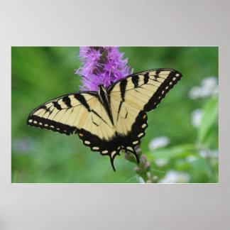 Poster de la mariposa de Swallowtail del tigre