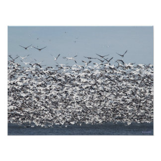 Poster de la multitud del ganso de nieve