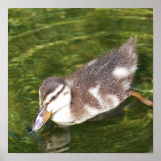 Poster de la natación del pato del bebé
