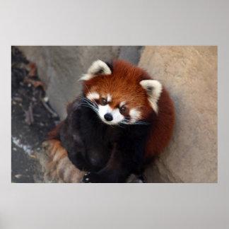 Poster de la panda roja
