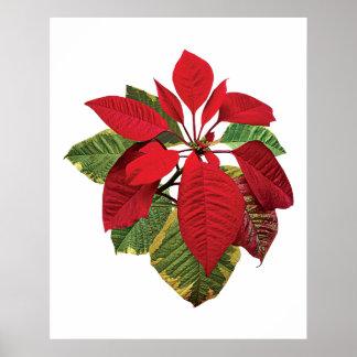 Poster de la planta del Poinsettia